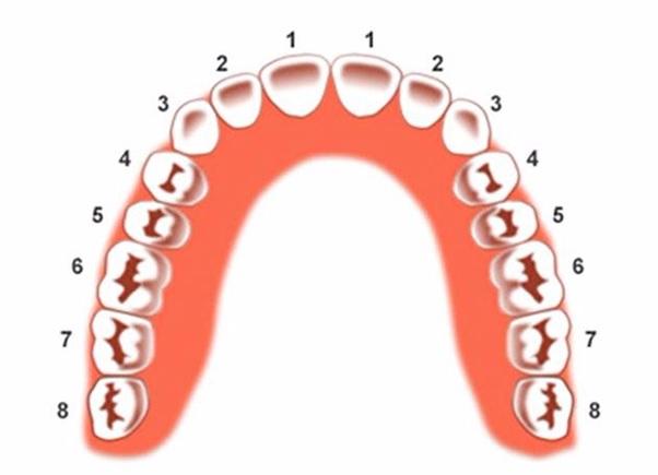 Răng số 1 thuộc nhóm răng cửa.
