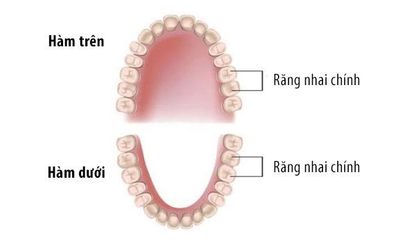Răng nhai là gì?